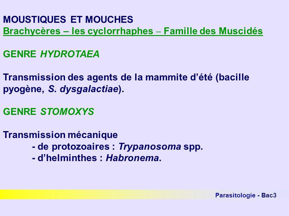 MOUSTIQUES ET MOUCHES Brachycères – les cyclorrhaphes – Famille des Muscidés GENRE HYDROTAEA Transmission des agents de la mammite dété (bacille pyogè