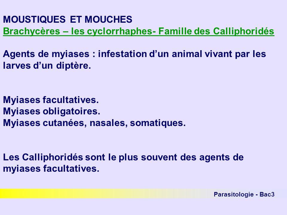 Parasitologie - Bac3 MOUSTIQUES ET MOUCHES Brachycères – les cyclorrhaphes- Famille des Calliphoridés Agents de myiases : infestation dun animal vivan