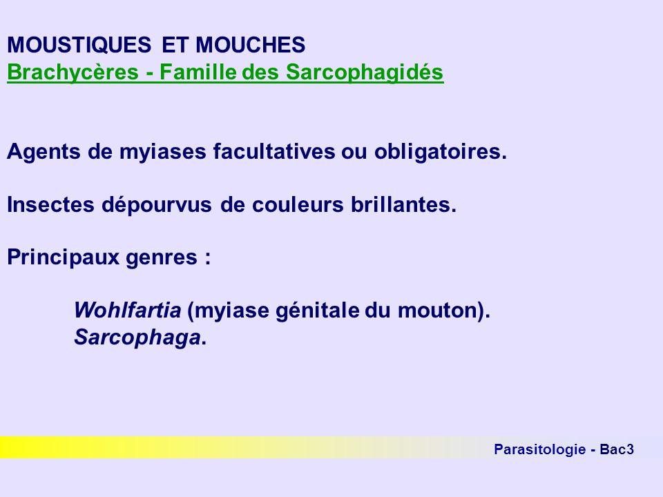 Parasitologie - Bac3 MOUSTIQUES ET MOUCHES Brachycères - Famille des Sarcophagidés Agents de myiases facultatives ou obligatoires. Insectes dépourvus