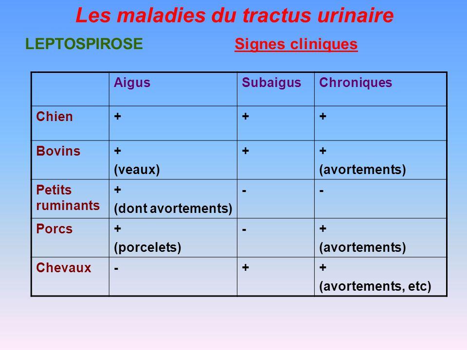 LEPTOSPIROSESignes cliniques AigusSubaigusChroniques Chien+++ Bovins+ (veaux) ++ (avortements) Petits ruminants + (dont avortements) -- Porcs+ (porcelets) -+ (avortements) Chevaux-++ (avortements, etc) Les maladies du tractus urinaire