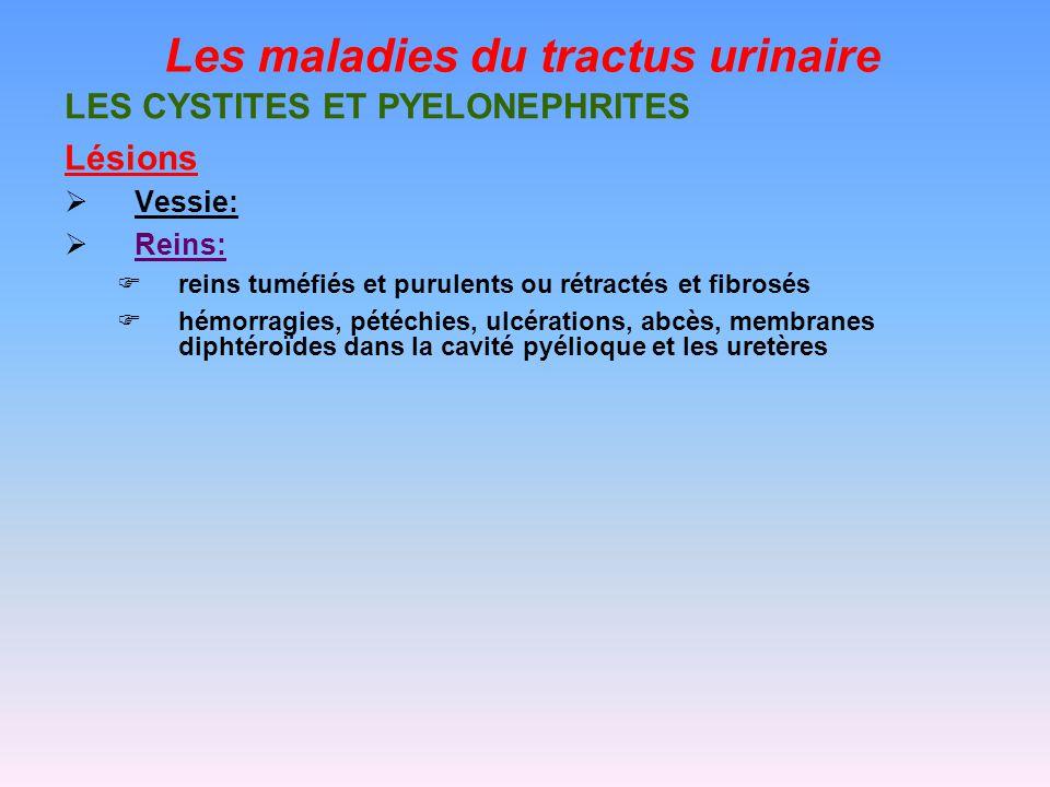 Les maladies du tractus urinaire LES CYSTITES ET PYELONEPHRITES Lésions Vessie: Reins: reins tuméfiés et purulents ou rétractés et fibrosés hémorragies, pétéchies, ulcérations, abcès, membranes diphtéroïdes dans la cavité pyélioque et les uretères