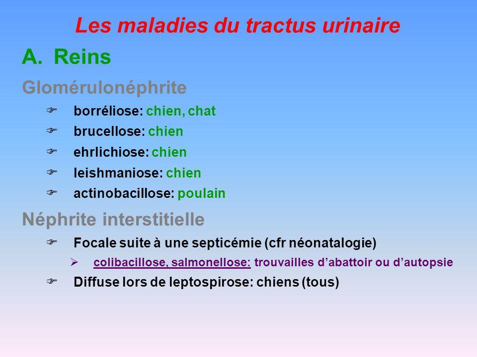 Les maladies du tractus urinaire A.Reins Néphrite interstitielle Focale suite à une septicémie (cfr néonatalogie) colibacillose, salmonellose: trouvailles dabattoir ou dautopsie Diffuse lors de leptospirose: chiens (tous)