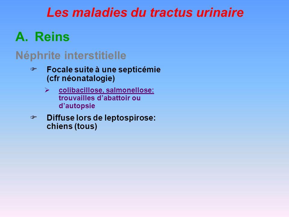 Les maladies du tractus urinaire LES CYSTITES ET PYELONEPHRITES Incidence - Pathogénie pas de flore résidente, mais une flore commensale de passage éliminée avec la miction circonstances adjuvantes interférant avec la vidange de la vessie: accouplements, gestations, diabète sucré, calculs, tumeur, cathétérisme, blessures, … = la flore commensale ne disparaît pas totalement avec la miction femelles adultes essentiellement anatomie du tractus urogénital urètre court qui débouche dans le vagin origine génitale mâle et/ou femelle (transmission à laccouplement) Corynebacterium renale, C.