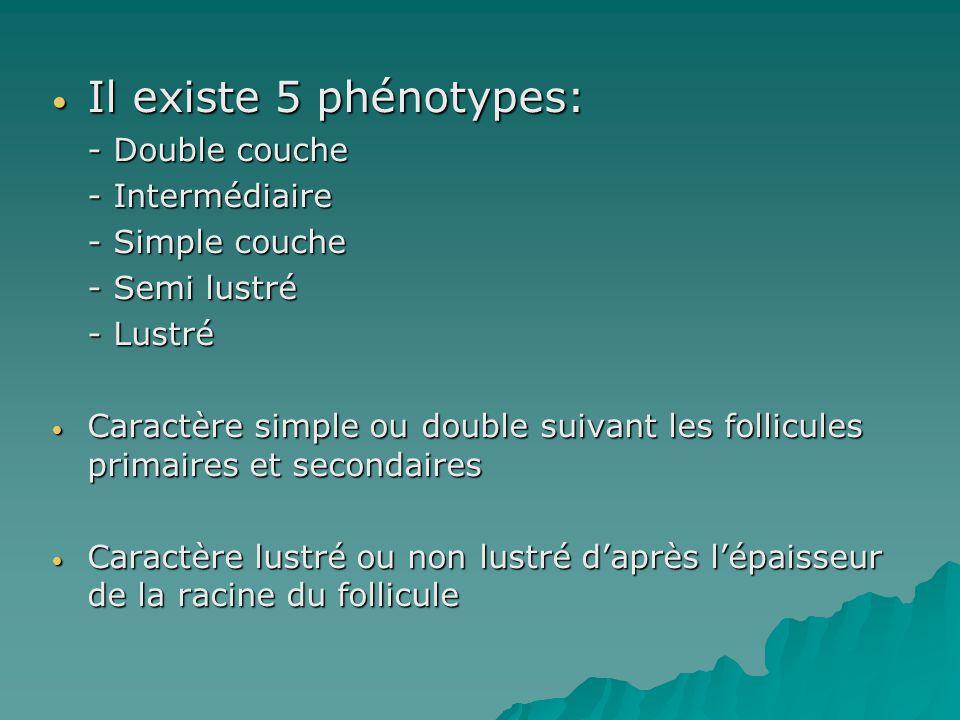 Il existe 5 phénotypes: Il existe 5 phénotypes: - Double couche - Intermédiaire - Simple couche - Semi lustré - Lustré Caractère simple ou double suiv
