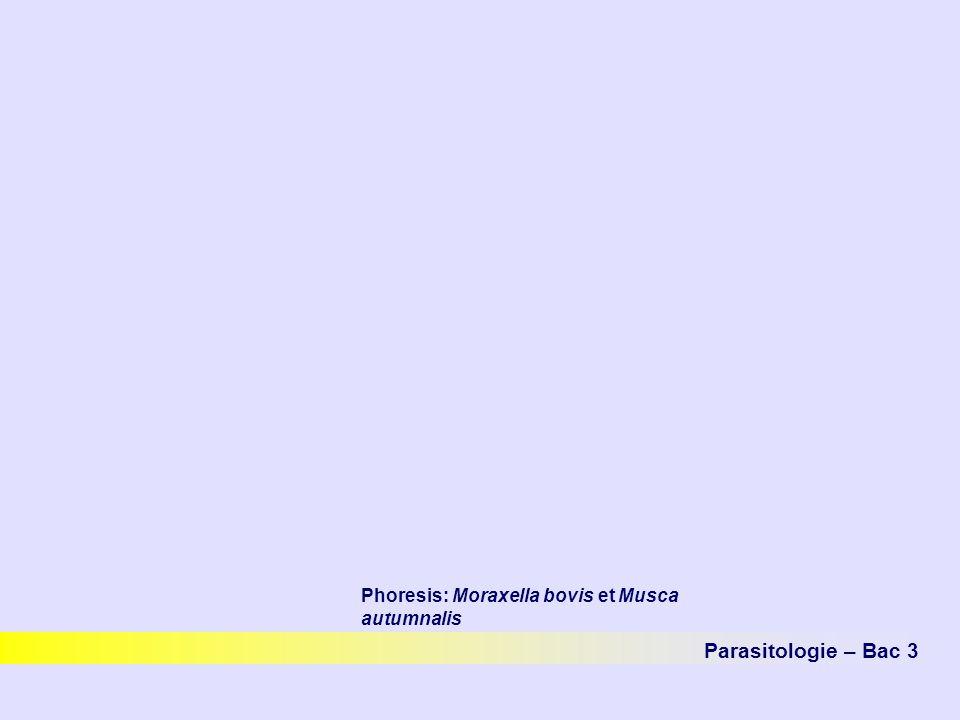 Phoresis: Moraxella bovis et Musca autumnalis