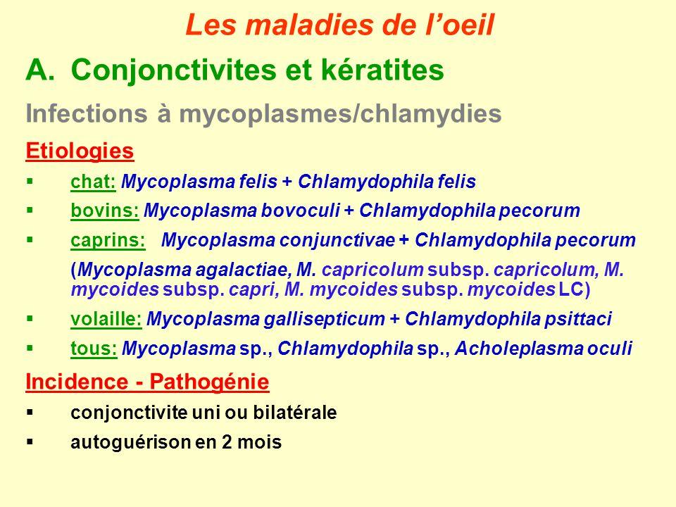Infections à mycoplasmes/chlamydies Signes cliniques - Lésions écoulement séro-muquex uni- ou bilatéral complications par des pyogènes banaux (cfr avant) autres signes cliniques selon étiologie Diagnostic clinique pas de culture des mycoplasmes pour des conjonctivites Traitement administration locale: macrolides, tétracyclines, chloramphénicol (chats) autoguérison Prophylaxie vaccins chez le chats avec virus respiratoires (Chlamydophila felis) autoguérison Conjonctivite à Mycoplasma conjunctivae et Chlamydophila pecorum