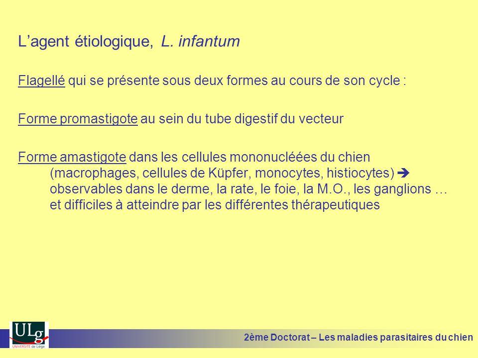 Lagent étiologique, L. infantum Flagellé qui se présente sous deux formes au cours de son cycle : Forme promastigote au sein du tube digestif du vecte
