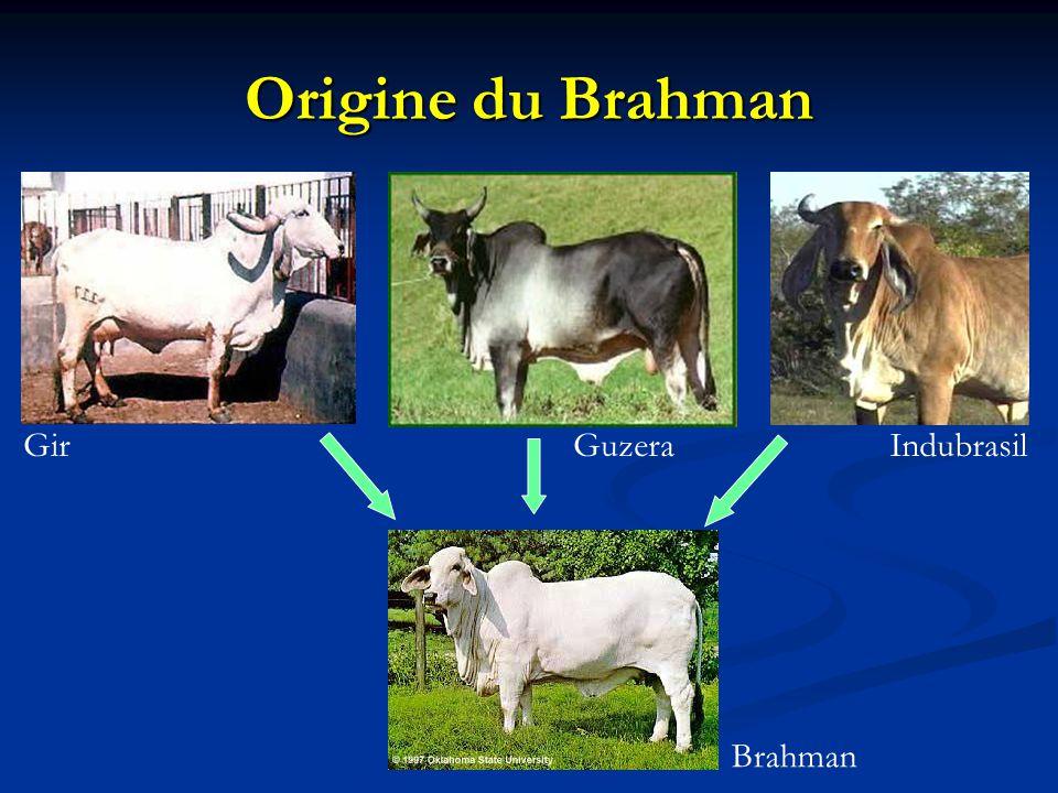 Origine du Brahman Brahman GirIndubrasilGuzera