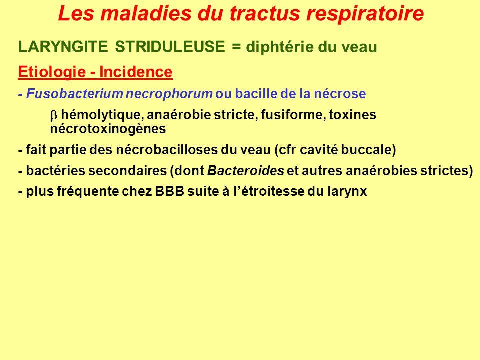 Les maladies du tractus respiratoire LARYNGITE STRIDULEUSE = diphtérie du veau Etiologie - Incidence - Fusobacterium necrophorum ou bacille de la nécr