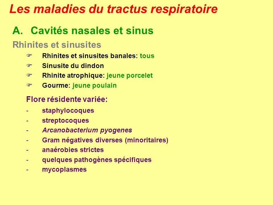 Les maladies du tractus respiratoire GOURME Signes cliniques – Lésions - incubation de 2 semaines après la contamination ou le stress - 4 phases cliniques: 1ère phase: prodromique avec inappétence, léger jetage, légère toux, fièvre, … 2ème phase: rhinite et pharyngite avec jetage purulent, toux sévère 3ème phase: lymphadénite régionale avec fièvre élevée, lymphadénite des ganglions sous-maxillaires, parotidaux, rétropharyngés, mastication et déglutition difficiles, …