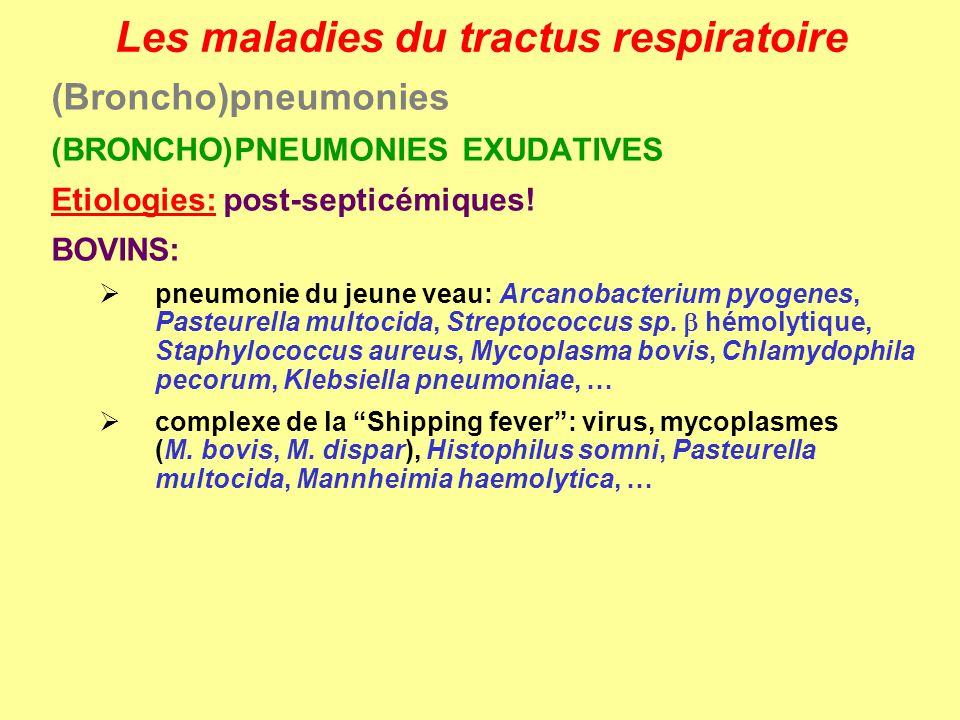 Les maladies du tractus respiratoire (Broncho)pneumonies (BRONCHO)PNEUMONIES EXUDATIVES Etiologies: post-septicémiques! BOVINS: pneumonie du jeune vea