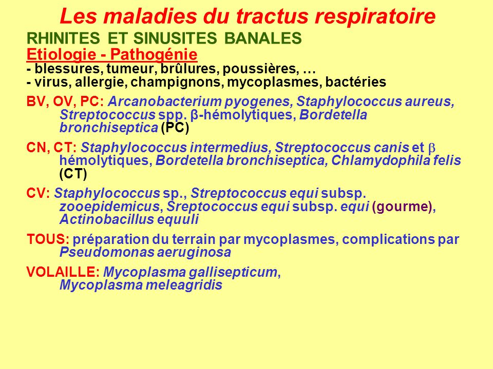 Les maladies du tractus respiratoire RHINITES ET SINUSITES BANALES Signes cliniques - lésions - écoulement à partir dune ou deux narines (= jetage) - jetage séreux (virus), muqueux (bactérie), purulent (bactérie pyogène), hémorragique - souvent accompagné de (kérato-)conjonctivites avec larmoiements - complication possible de sinusite = source de récidive - congestion de la muqueuse, ulcères, abcès, tumeur