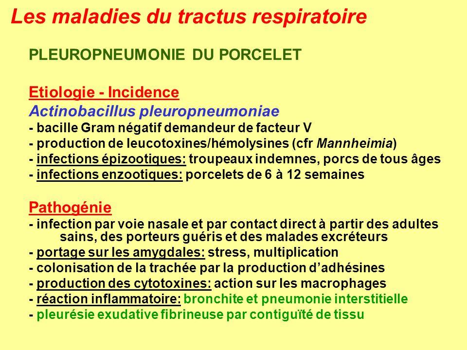 Les maladies du tractus respiratoire PLEUROPNEUMONIE DU PORCELET Etiologie - Incidence Actinobacillus pleuropneumoniae - bacille Gram négatif demandeu