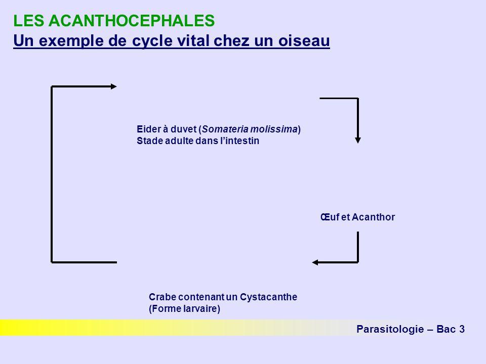 LES ACANTHOCEPHALES Un exemple de cycle vital chez un oiseau Parasitologie – Bac 3 Œuf et Acanthor Eider à duvet (Somateria molissima) Stade adulte da