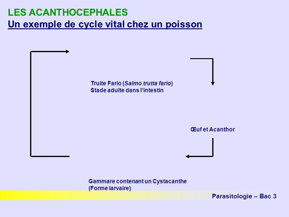 LES ACANTHOCEPHALES Un exemple de cycle vital chez un poisson Parasitologie – Bac 3 Œuf et Acanthor Truite Fario (Salmo trutta fario) Stade adulte dan