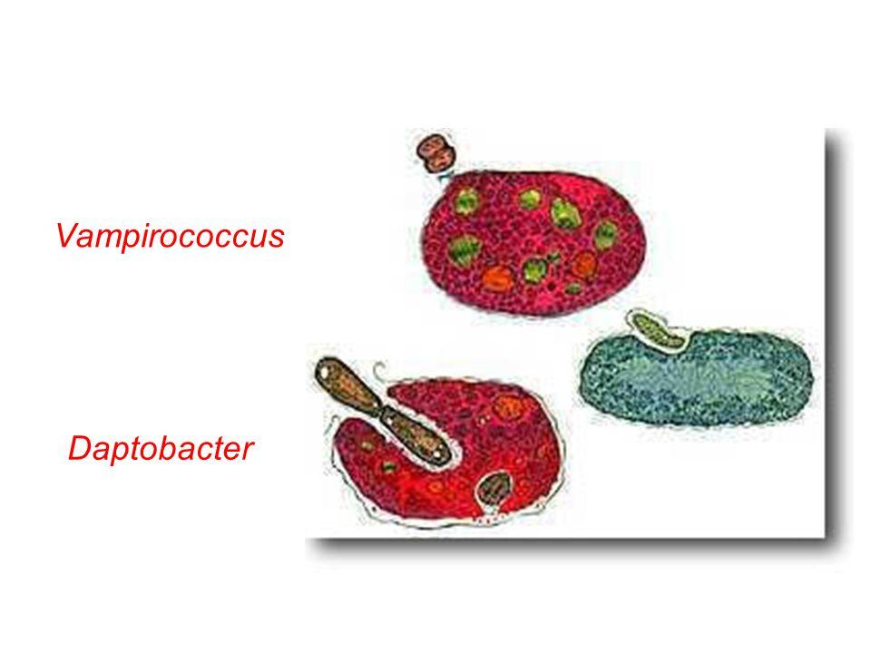 Vampirococcus Daptobacter