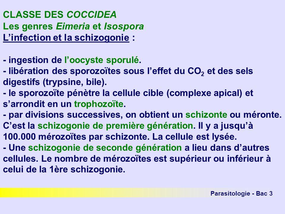 Parasitologie - Bac 3 CLASSE DES COCCIDEA Les genres Eimeria et Isospora Linfection et la schizogonie : - ingestion de loocyste sporulé. - libération