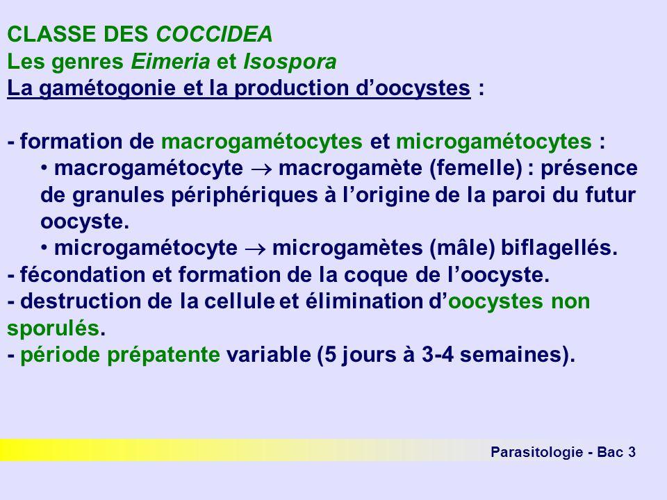 Parasitologie - Bac 3 CLASSE DES COCCIDEA Les genres Eimeria et Isospora La gamétogonie et la production doocystes : - formation de macrogamétocytes et microgamétocytes : macrogamétocyte macrogamète (femelle) : présence de granules périphériques à lorigine de la paroi du futur oocyste.