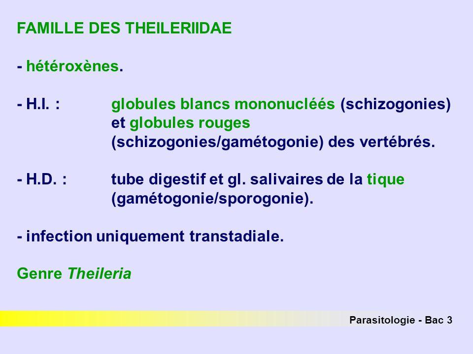 Parasitologie - Bac 3 FAMILLE DES THEILERIIDAE - hétéroxènes. - H.I. : globules blancs mononucléés (schizogonies) et globules rouges (schizogonies/gam