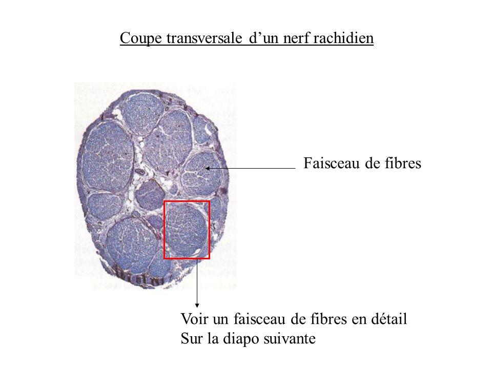 Coupe transversale dun nerf rachidien Faisceau de fibres Voir un faisceau de fibres en détail Sur la diapo suivante