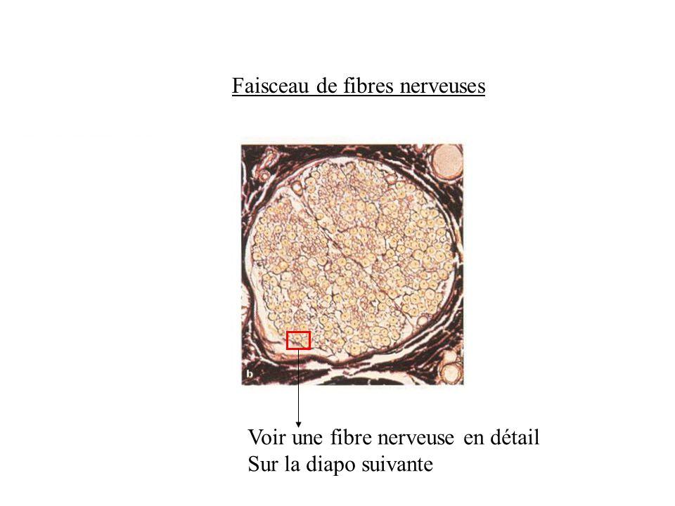 Faisceau de fibres nerveuses Voir une fibre nerveuse en détail Sur la diapo suivante