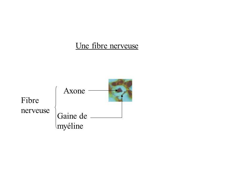 Une fibre nerveuse Axone Gaine de myéline Fibre nerveuse