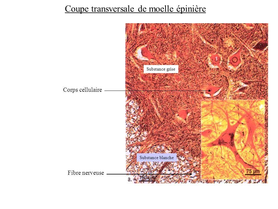 Substance grise Substance blanche Coupe transversale de moelle épinière Corps cellulaire Fibre nerveuse