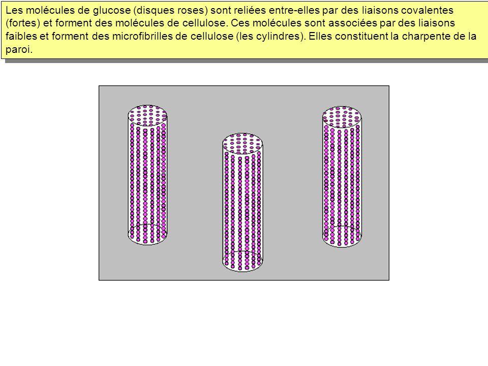 Les molécules de glucose (disques roses) sont reliées entre-elles par des liaisons covalentes (fortes) et forment des molécules de cellulose. Ces molé