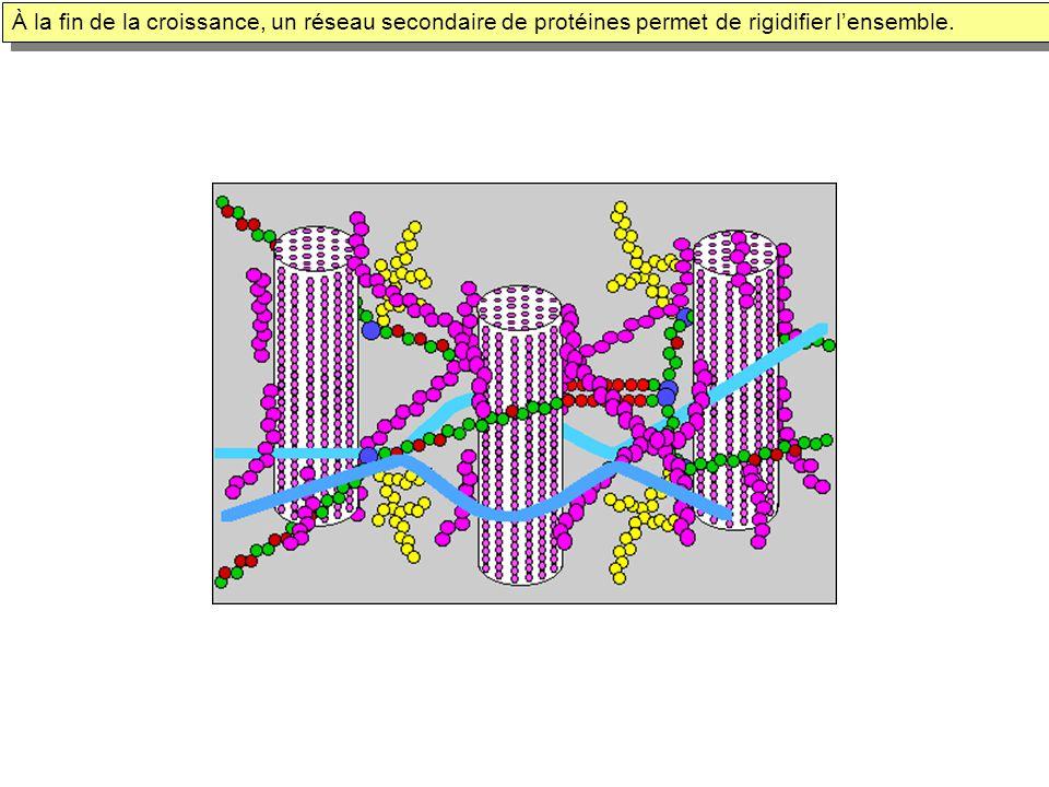 À la fin de la croissance, un réseau secondaire de protéines permet de rigidifier lensemble.