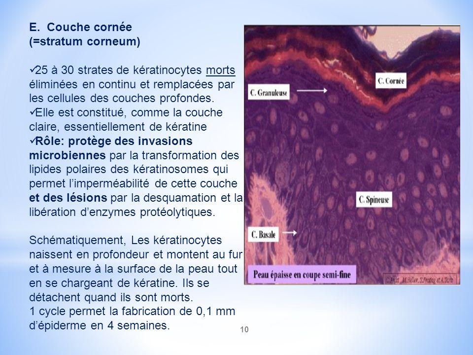 10 E. Couche cornée (=stratum corneum) 25 à 30 strates de kératinocytes morts éliminées en continu et remplacées par les cellules des couches profonde
