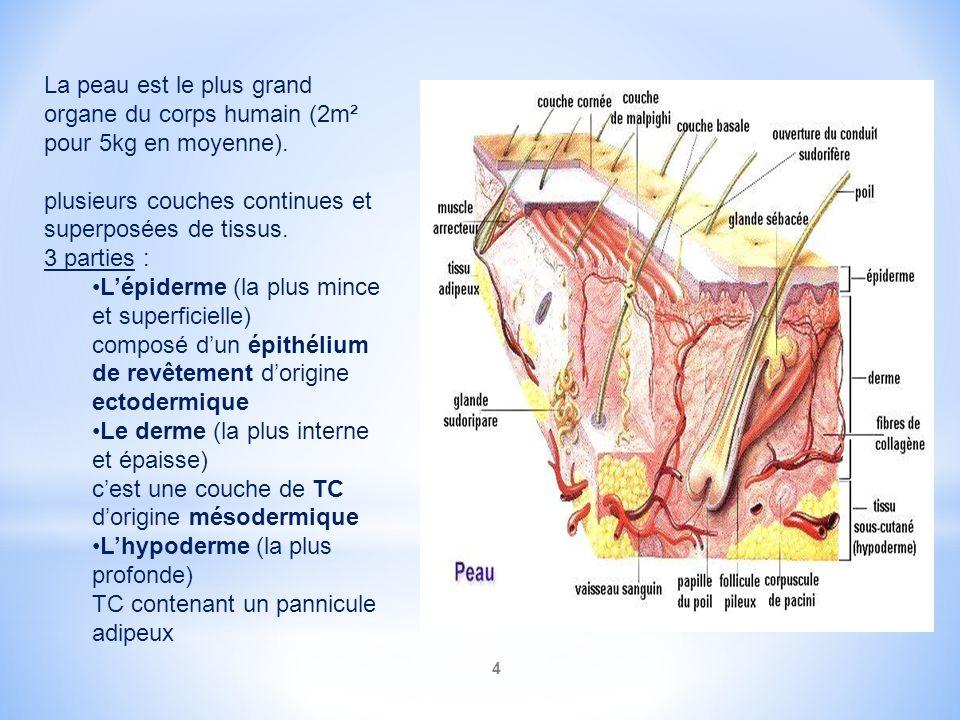 4 La peau est le plus grand organe du corps humain (2m² pour 5kg en moyenne). plusieurs couches continues et superposées de tissus. 3 parties : Lépide