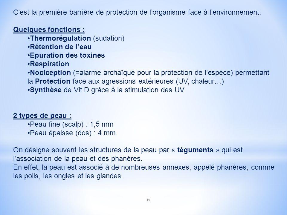 Cest la première barrière de protection de lorganisme face à lenvironnement. Quelques fonctions : Thermorégulation (sudation) Rétention de leau Epurat