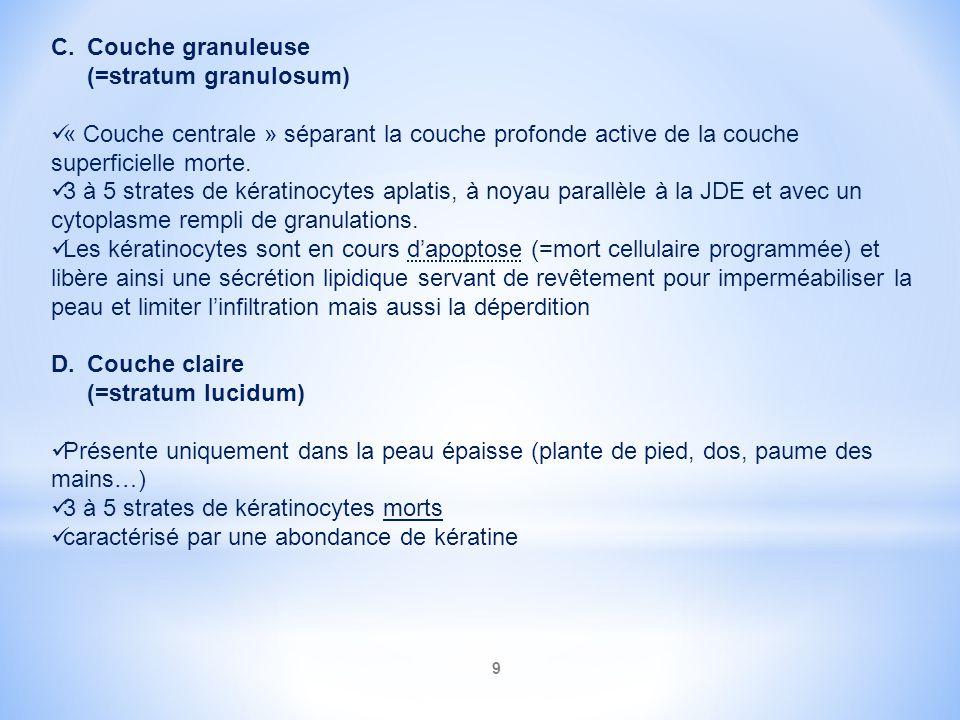 9 C.Couche granuleuse (=stratum granulosum) « Couche centrale » séparant la couche profonde active de la couche superficielle morte. 3 à 5 strates de
