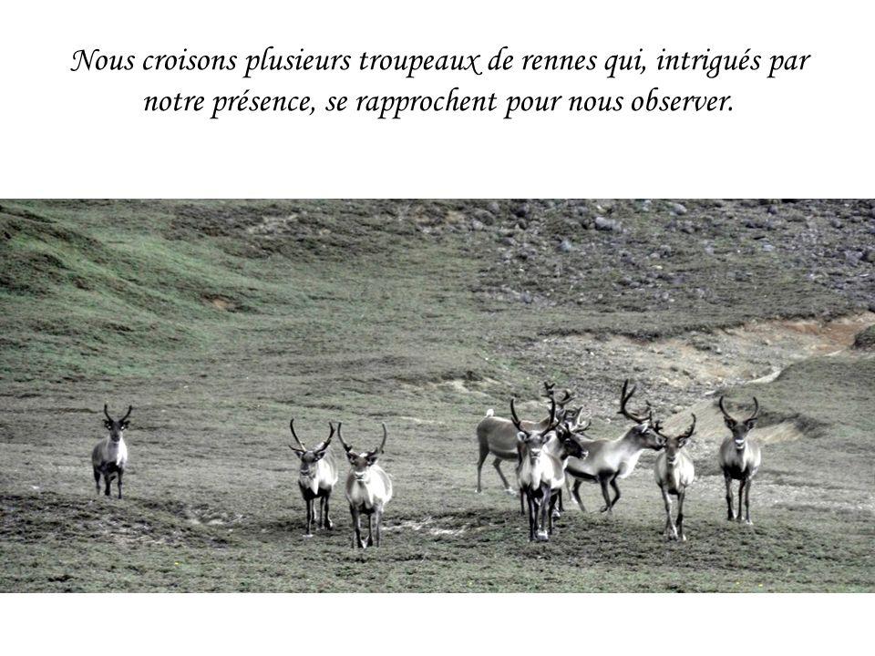 Nous croisons plusieurs troupeaux de rennes qui, intrigués par notre présence, se rapprochent pour nous observer.