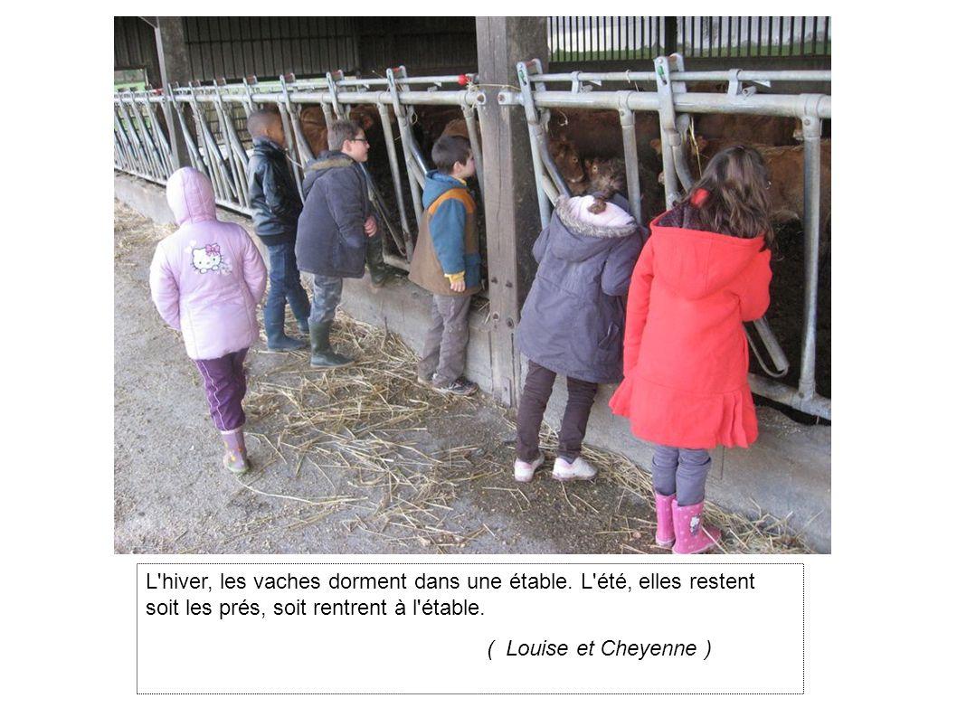 L hiver, les vaches dorment dans une étable.