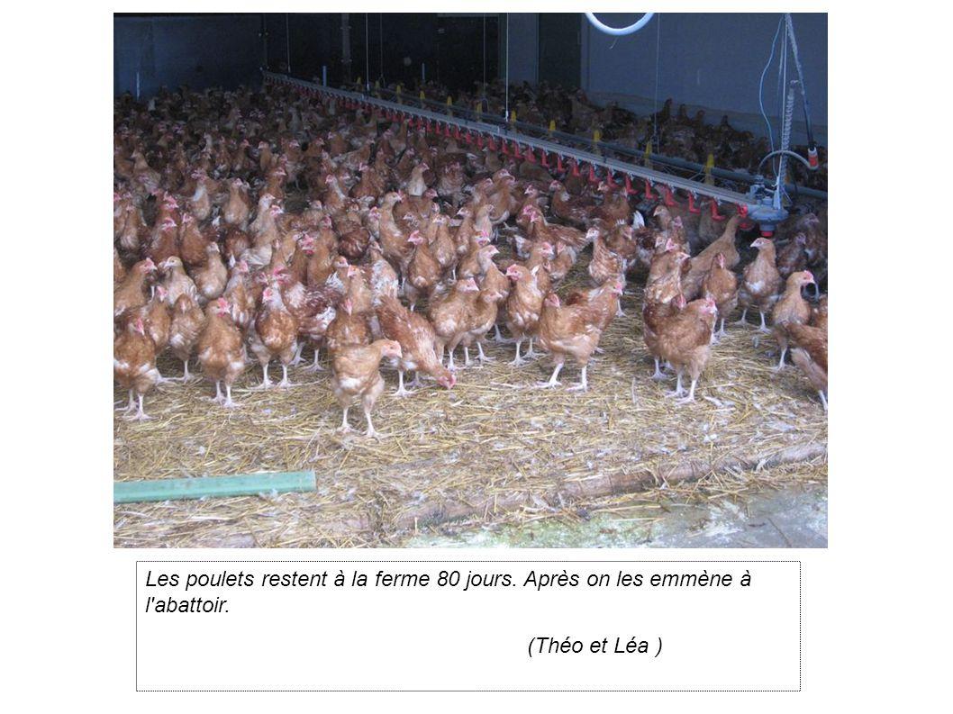 Les poulets restent à la ferme 80 jours. Après on les emmène à l abattoir. (Théo et Léa )