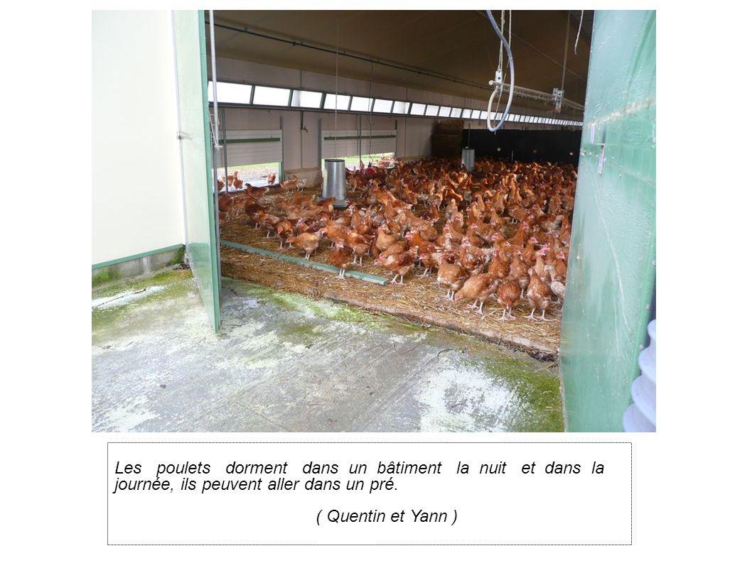 Les poulets dorment dans un bâtiment la nuit et dans la journée, ils peuvent aller dans un pré.