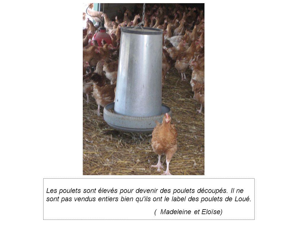 Les poulets sont élevés pour devenir des poulets découpés.