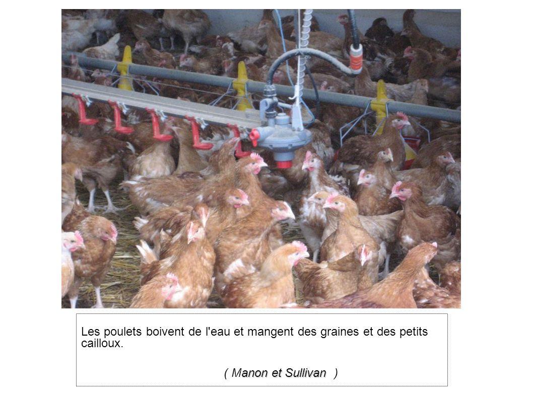 Les poulets boivent de l eau et mangent des graines et des petits cailloux.