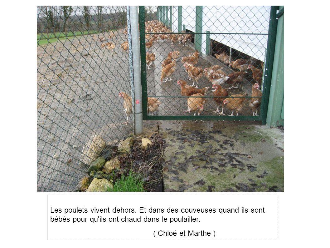 Les poulets vivent dehors.
