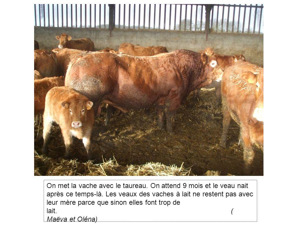 On met la vache avec le taureau.On attend 9 mois et le veau nait après ce temps-là.
