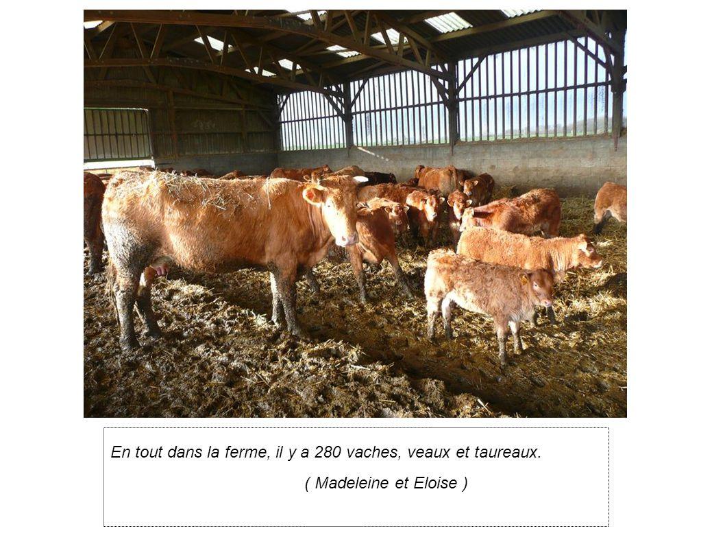 En tout dans la ferme, il y a 280 vaches, veaux et taureaux. ( Madeleine et Eloise )