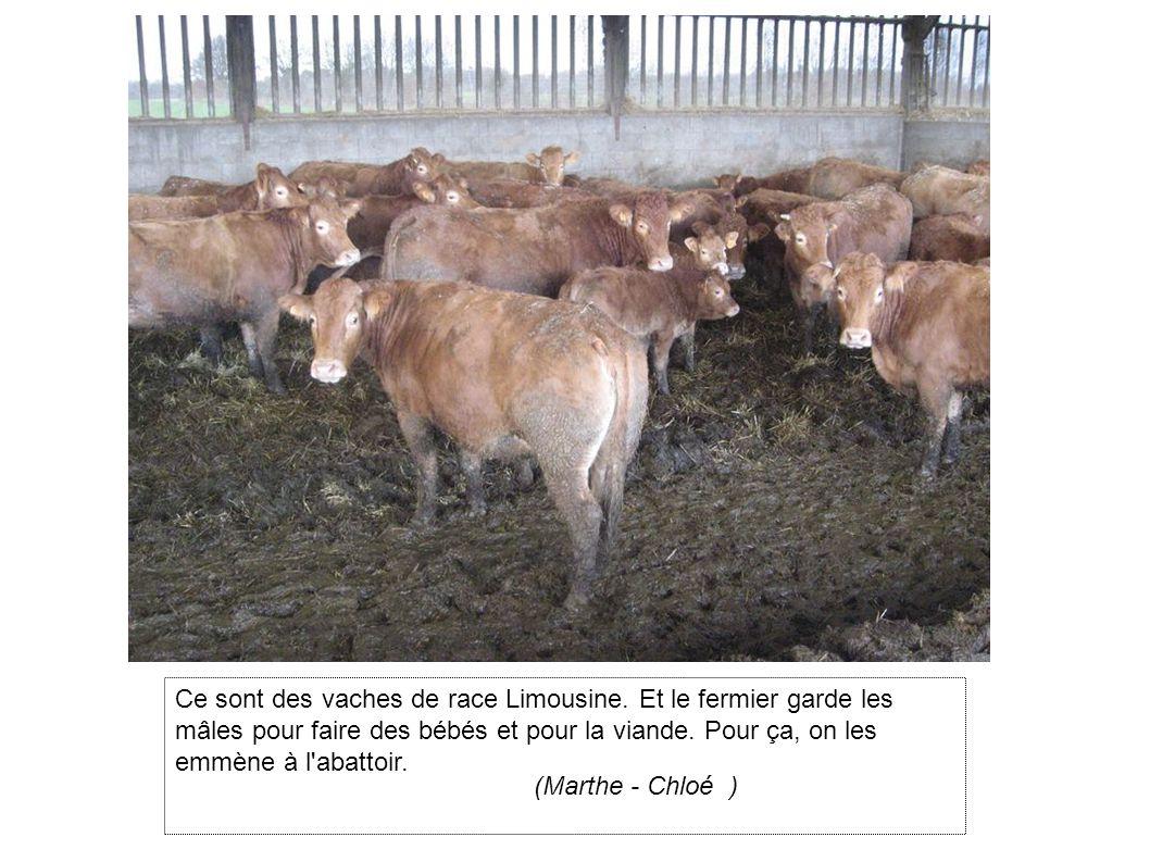 Ce sont des vaches de race Limousine.