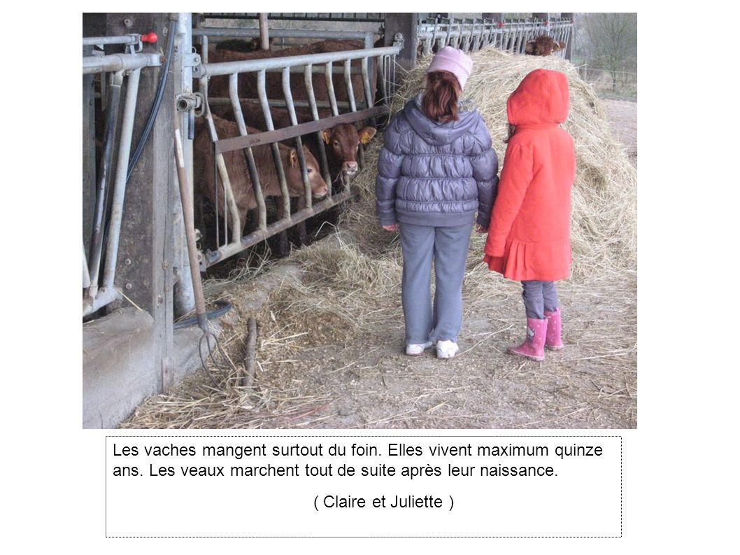 Les vaches mangent surtout du foin.Elles vivent maximum quinze ans.