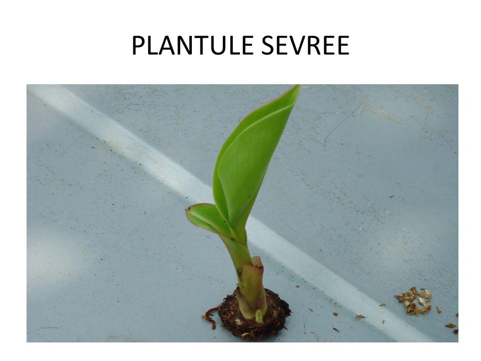 SEVRAGE DES PLANTS PLANTULE SEVREE EXPLANT SORTI DU GERMOIR