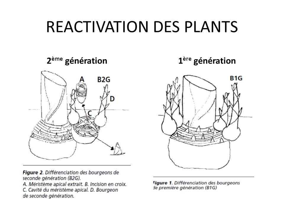 REACTIVATION DES PLANTS Consiste essentiellement à provoquer des proliférations sur des grosses pousses identifiées dans les touffes de plants, Réduir