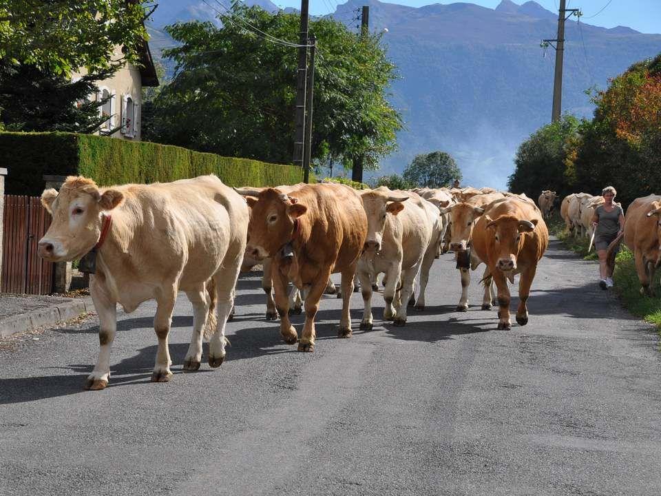 Nous avons même eu la chance de croiser ce troupeau rentrant de l'estive. Les cloches de chacune retentissaient dans toute la vallée.