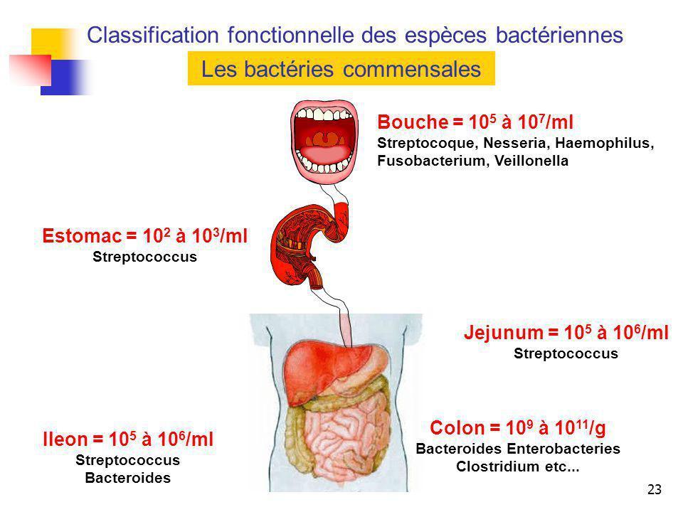 23 Les bactéries commensales Bouche = 10 5 à 10 7 /ml Streptocoque, Nesseria, Haemophilus, Fusobacterium, Veillonella Estomac = 10 2 à 10 3 /ml Strept