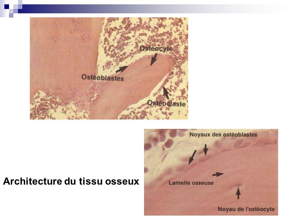 Architecture du tissu osseux