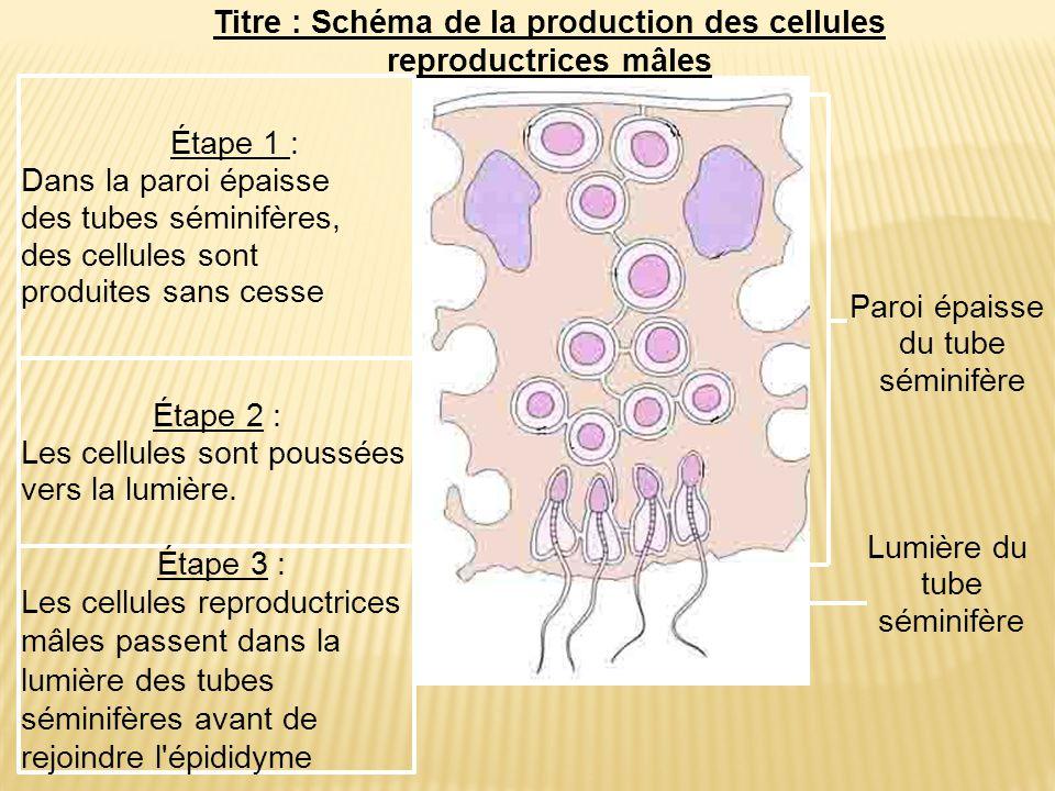 Paroi épaisse du tube séminifère Lumière du tube séminifère Étape 2 : Les cellules sont poussées vers la lumière. Étape 3 : Les cellules reproductrice